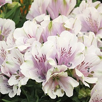 Alstroemeria Inticancha Moonlight Flower Plants