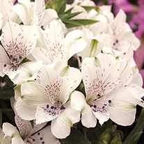 Alstroemeria Inticancha Magic White Flower Plants