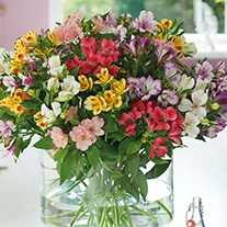 Border Alstroemeria Collection