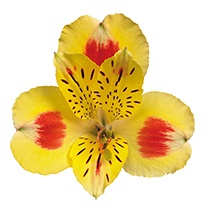 Alstroemeria 'Indonesian Summer'