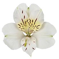 Alstroemeria 'Lily White'