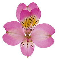 Alstroemeria 'Pretty in Pink'