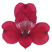 Alstroemeria 'Rich and Rosy'