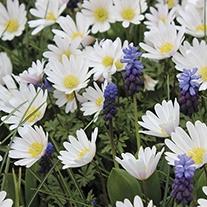 Anemone blanda 'White Splendour' AGM