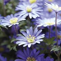 Anemone blanda blue-flowered