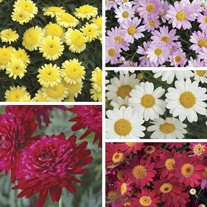 Argyranthemum  Flower Plants Collection