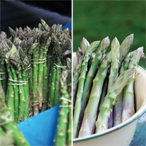 Asparagus Collection - Mondeo & Guelph Millenium