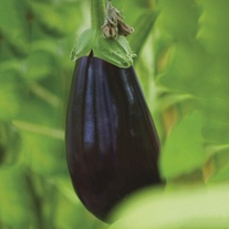 Aubergine Black Pearl F1 Grafted Veg Plants