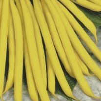 Dwarf French Bean Sonesta Plants