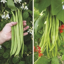 Runner Bean Seed Collection