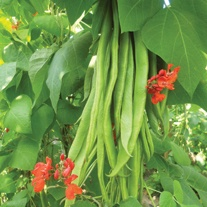 Runner Bean Firestorm AGM Veg Plants