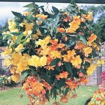 Begonia Illumination Apricot Shades F1 Flower Plants