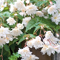 Begonia Illumination White Flower Plants