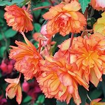 Begonia Illumination Golden Picotee Flower Plants