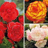 Picotee Begonia Tuber Collection