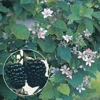 Blackberry Chester Fruit Plant (Floricane)