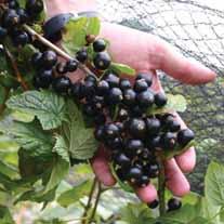Blackcurrant Fruit Plant Big Ben AGM