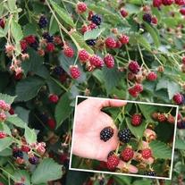 Blackberry Navaho Plant