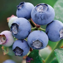 Blueberry Draper Fruit Plant
