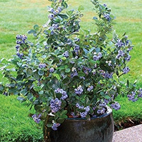 Blueberry North Country Fruit Plant