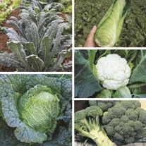Summer Harvest Brassica Plant Collection