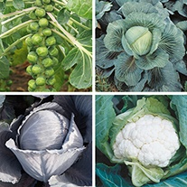 Club Root Resistant Brassica Veg Plant Collection
