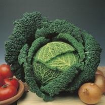 Cabbage Traviata F1 Plants
