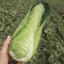 Cabbage Dutchman F1 Plants