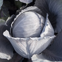 Cabbage Lodero F1 Veg Plants