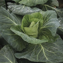 Cabbage Merlin F1 Seeds