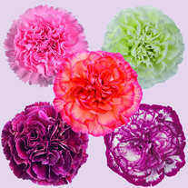 Carnation Collection