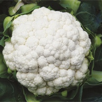 Cauliflower Helsinki F1 Veg Plants