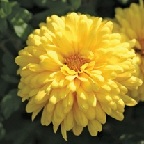 Chyrsanthemum Spartan Canary