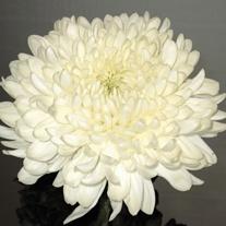 Chrysanthemum 'Ja Dank'