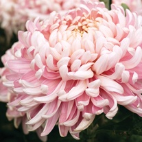 Chrysanthemum 'Allouise Pink' (Late)