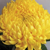Chrysanthemum 'Creamist Golden' (Early)