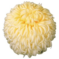 Chrysanthemum 'Dorridge Crystal'