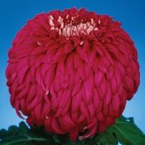 Chrysanthemum 'Bryan Kirk' (Early)