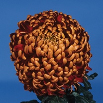 Chrysanthemum 'Beacon'