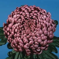 Chrysanthemum 'Daily Mirror'