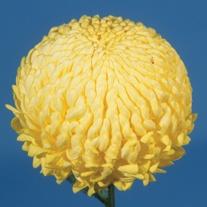 Chrysanthemum John Hughes Yellow