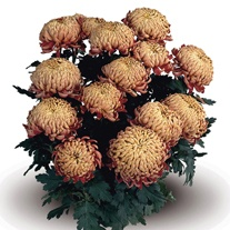 Chrysanthemum 'Alfredo Orange' (Late)