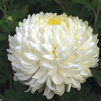 Chrysanthemum 'Billy Bell' (Early)