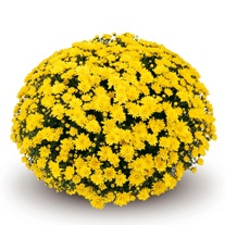 Chrysanthemum 'Conaco Yellow' (Early)