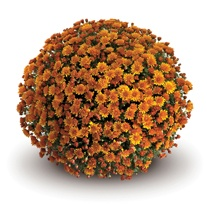 Chrysanthemum 'Conelle Orange' (Early)