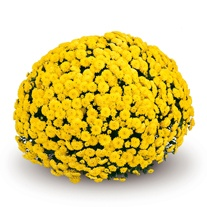 Chrysanthemum 'Appro Yellow' (Early)
