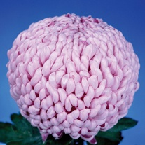 Chrysanthemum 'Fairweather'