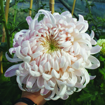 Chrysanthemum 'Denise Oatridge'