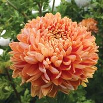 Chrysanthemum 'Salmon Chessington'
