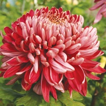 Chrysanthemum 'Cherry Chessington' (Early)